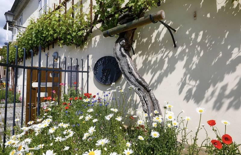 """Drauradweg """"Alte Rebe"""" die älteste Weinrebe weltweit"""